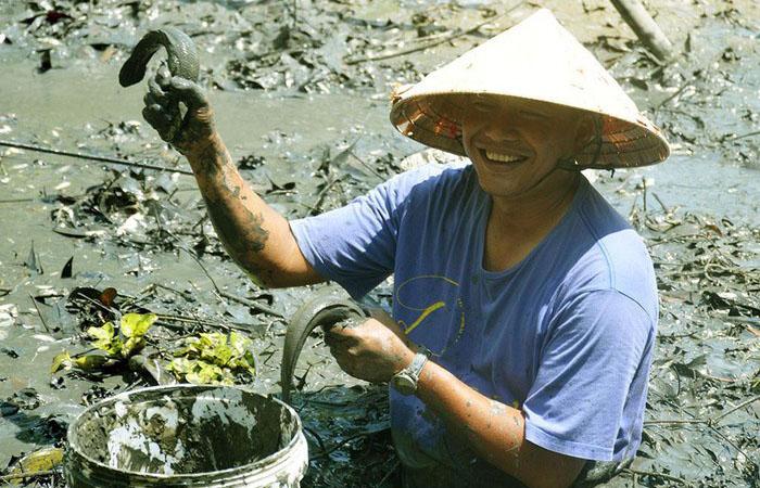 Đánh bắt cá lóc đồng mùa lúa