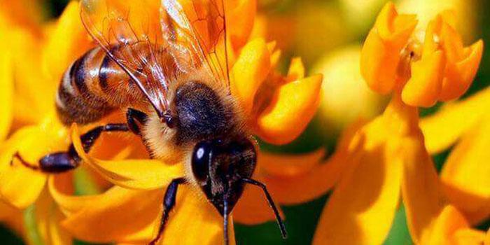 Khác nhau ở loài ong làm mật